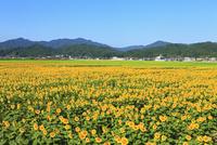 ヒマワリ畑 11076009747| 写真素材・ストックフォト・画像・イラスト素材|アマナイメージズ