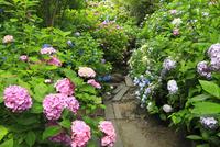 アジサイの花 11076009870| 写真素材・ストックフォト・画像・イラスト素材|アマナイメージズ