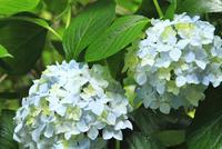 アジサイの花 11076009871| 写真素材・ストックフォト・画像・イラスト素材|アマナイメージズ
