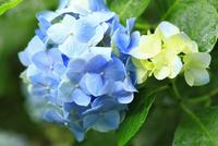 アジサイの花 11076009872| 写真素材・ストックフォト・画像・イラスト素材|アマナイメージズ