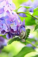 アジサイの花とカタツムリ 11076009873| 写真素材・ストックフォト・画像・イラスト素材|アマナイメージズ