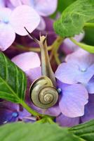 アジサイの花とカタツムリ 11076009874| 写真素材・ストックフォト・画像・イラスト素材|アマナイメージズ