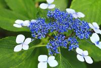 ガクアジサイの花 11076009875| 写真素材・ストックフォト・画像・イラスト素材|アマナイメージズ