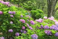 吉野山 アジサイの花 11076009903| 写真素材・ストックフォト・画像・イラスト素材|アマナイメージズ