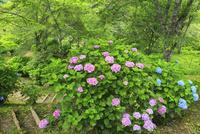 吉野山 アジサイの花 11076009904| 写真素材・ストックフォト・画像・イラスト素材|アマナイメージズ