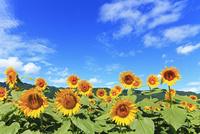 ヒマワリ畑 11076009910| 写真素材・ストックフォト・画像・イラスト素材|アマナイメージズ