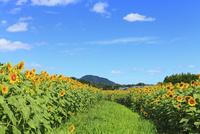ヒマワリ畑と道 11076009916| 写真素材・ストックフォト・画像・イラスト素材|アマナイメージズ