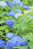 アジサイの花 11076009930| 写真素材・ストックフォト・画像・イラスト素材|アマナイメージズ