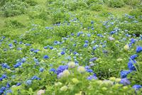 アジサイの花 11076009931| 写真素材・ストックフォト・画像・イラスト素材|アマナイメージズ