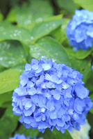 アジサイの花 11076009933| 写真素材・ストックフォト・画像・イラスト素材|アマナイメージズ