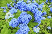 アジサイの花 11076009935| 写真素材・ストックフォト・画像・イラスト素材|アマナイメージズ