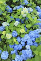 アジサイの花 11076009937| 写真素材・ストックフォト・画像・イラスト素材|アマナイメージズ