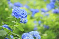 アジサイの花 11076009938| 写真素材・ストックフォト・画像・イラスト素材|アマナイメージズ