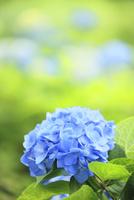 アジサイの花 11076009939| 写真素材・ストックフォト・画像・イラスト素材|アマナイメージズ