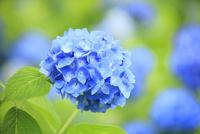 アジサイの花 11076009940| 写真素材・ストックフォト・画像・イラスト素材|アマナイメージズ