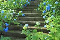 アジサイの花と石段 11076009942| 写真素材・ストックフォト・画像・イラスト素材|アマナイメージズ