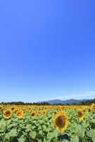 ヒマワリ畑と山並み