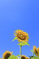 ヒマワリの花と青空