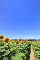 ヒマワリ畑の小道と山並み 11076010017| 写真素材・ストックフォト・画像・イラスト素材|アマナイメージズ