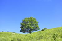 緑樹とシシウドの花