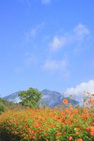 黒姫高原 キバナコスモスの花と妙高山