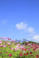 黒姫高原 コスモスの花と妙高山