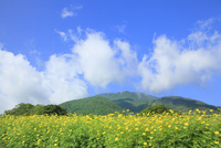 キバナコスモスの花と白雲