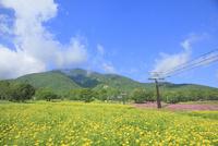 黒姫高原 コスモスの花と黒姫山