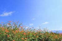キバナコスモスの花と青空