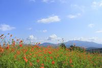 キバナコスモスの花と山並み