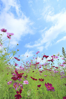 コスモスの花と白雲