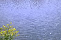 川面の散りサクラとナノハナ 11076010261| 写真素材・ストックフォト・画像・イラスト素材|アマナイメージズ