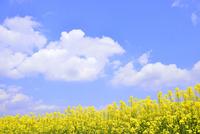 ナノハナ畑と青空に雲 11076010289| 写真素材・ストックフォト・画像・イラスト素材|アマナイメージズ