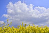 ナノハナ畑と青空に雲 11076010290| 写真素材・ストックフォト・画像・イラスト素材|アマナイメージズ