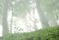 レンゲショウマと霧の林