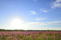 コスモス畑と太陽