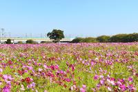 コスモス畑と東北新幹線