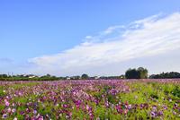 コスモスの花畑と青空に雲