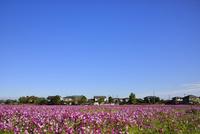 コスモスの花畑と住宅地に青空