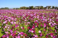 コスモスの花畑と住宅地