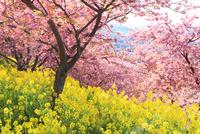 カワヅザクラと菜の花