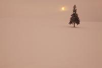 雪原とクリスマスツリーの木 11076010905  写真素材・ストックフォト・画像・イラスト素材 アマナイメージズ