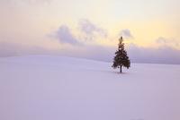 雪原とクリスマスツリーの木 11076010910  写真素材・ストックフォト・画像・イラスト素材 アマナイメージズ