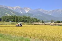 稲刈りと白馬三山