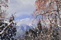柿と雪 11076010981| 写真素材・ストックフォト・画像・イラスト素材|アマナイメージズ