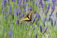 アゲハチョウとラベンダーの花