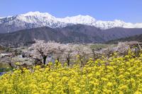 ナノハナとサクラに北アルプス(爺ヶ岳・鹿島槍ヶ岳) 11076011035| 写真素材・ストックフォト・画像・イラスト素材|アマナイメージズ