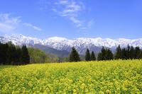 ナノハナ畑と北アルプス(五竜岳・白馬三山) 11076011051| 写真素材・ストックフォト・画像・イラスト素材|アマナイメージズ
