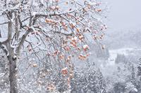 柿と里山雪景色 11076011058| 写真素材・ストックフォト・画像・イラスト素材|アマナイメージズ