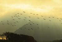 肱川あらしと光芒 川鵜の群れ 11076011090| 写真素材・ストックフォト・画像・イラスト素材|アマナイメージズ